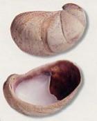 Single empty Slipper Limpet shell