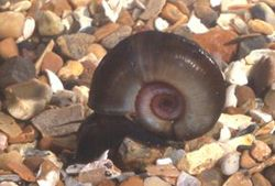 Pond snail will aid identification of freshwater snails