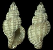 Raphitoma linearis 6.4mm ~ Borth, Ceredigion